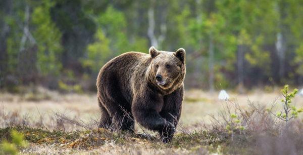 Animales omnivoros oso
