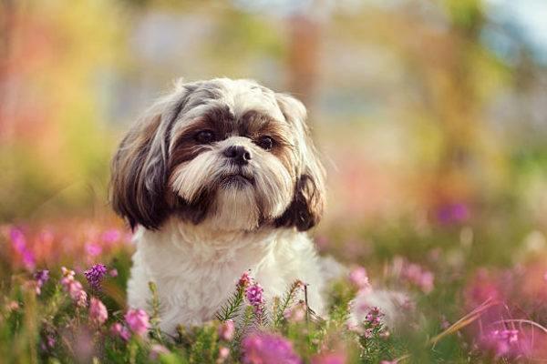 Fotos de perros de raza shih tzu entre flores