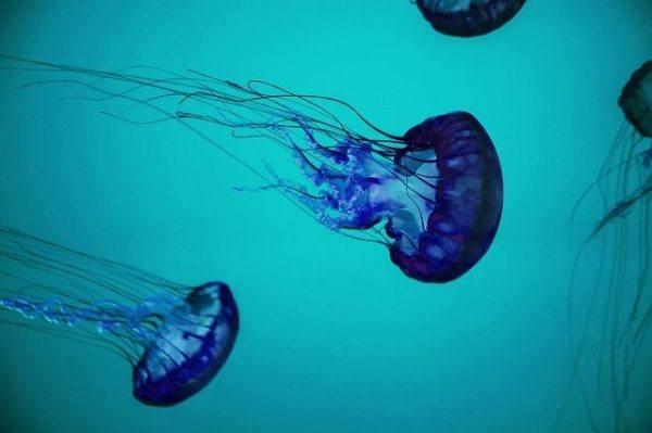 los-12-animales-mas-venenosos-del-planeta-medusa