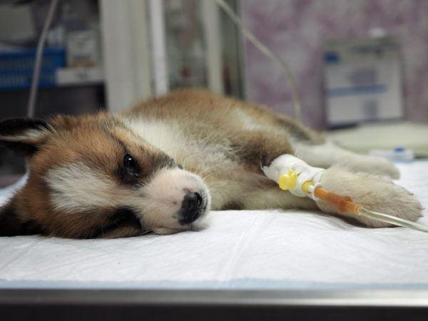Infecciones urinarias en los perros causas sntomas y tratamientos cama