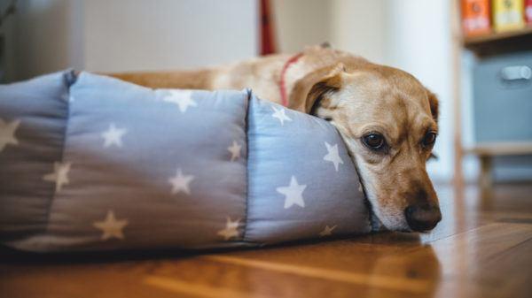 Infecciones urinarias en los perros causas sntomas y tratamientos medicamento