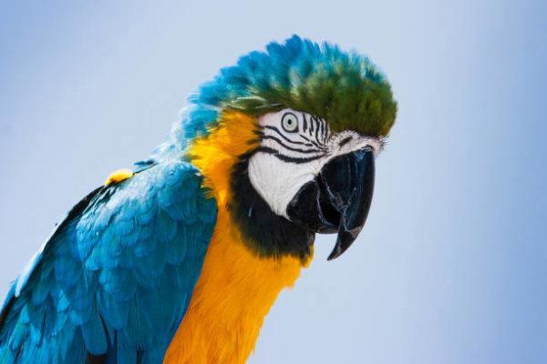 Los animales exoticos mas aptos para tener de mascotas guacamayo barbazul