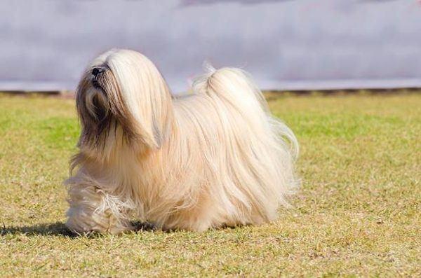 Razas de perro pequeños Lhasa Apso