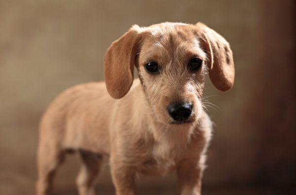 Razas de perro pequeños Schweenie