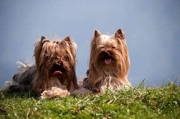 Razas de perro pequeños yorkshire