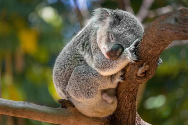 Animales que se extinguieron el ano pasado koalas