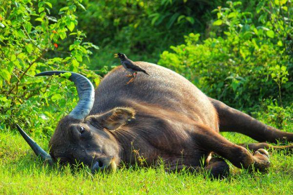 Los animales de oceania búfala
