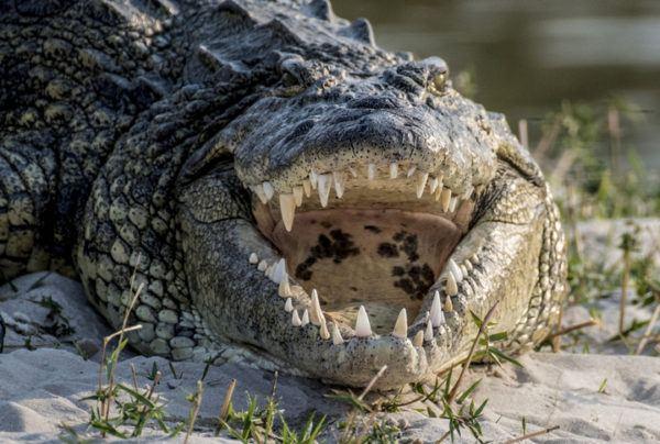 Los animales de oceania cocodrilo