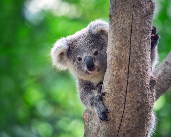 Los animales de oceania koala