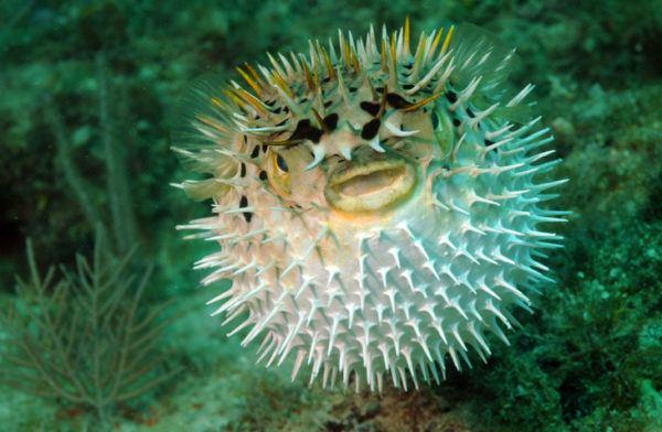 Los animales de oceania pez globo