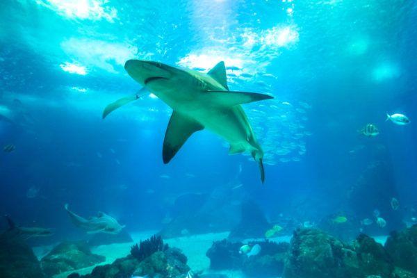 Los animales de oceania tiburon