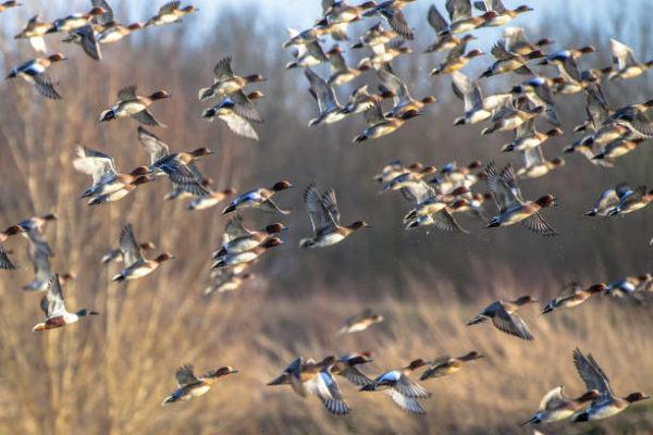 Aves migratorias que son donde migran cuales estan espana