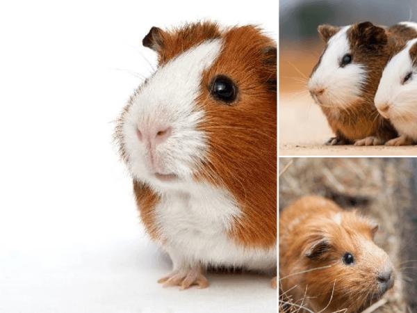 https://animalesmascotas.com//wp-content/uploads/2020/05/tipos-de-cobayas-600x450.png