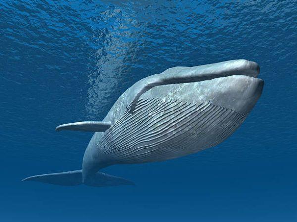 Ballena azul detalle