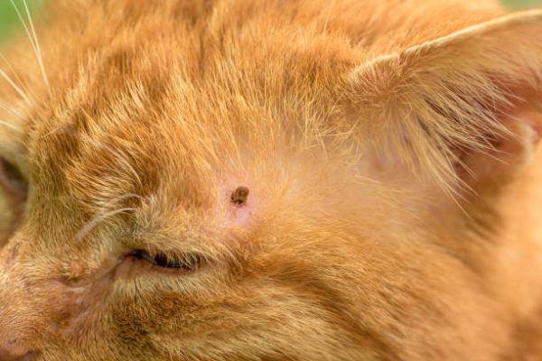 Garrapatas en los gatos que enfermedades transmiten sintomas como eliminarlas