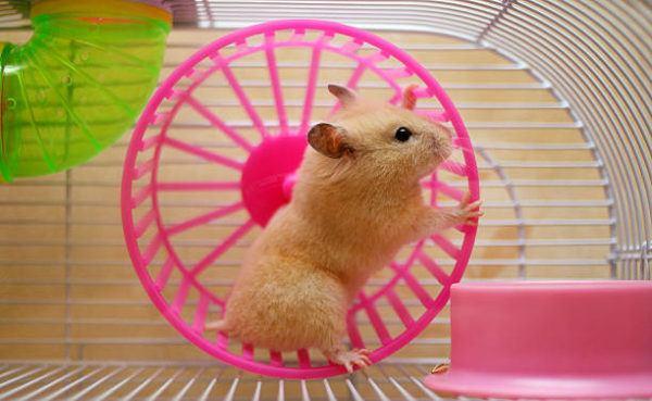Tengo un hamster necesito para sus cuidados