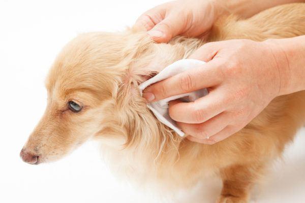 Como limpiar orejas cachorro