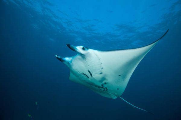 Los animales marinos mas grandes del mundo Mantarraya gigante