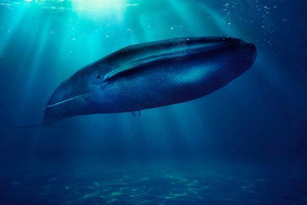 Los animales marinos mas grandes del mundo bayena azul