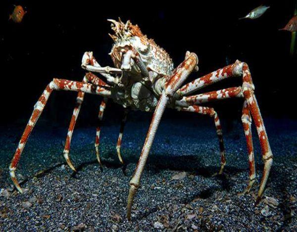 Los animales marinos mas grandes del mundo cangrejo araña japones l