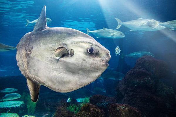 Los animales marinos mas grandes del mundo pez luna