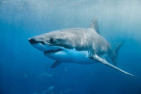Los animales marinos mas grandes del mundo tiburon blanco