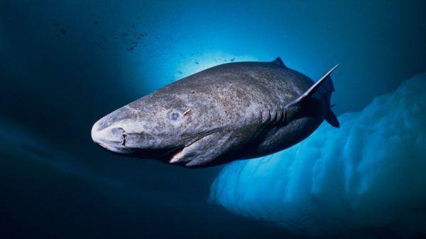 Los animales marinos mas grandes del mundo tiburon groenlandia