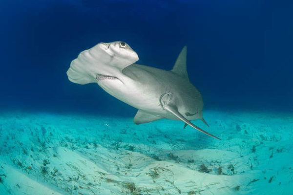Los animales marinos mas grandes del mundo tiburon martillo gigante