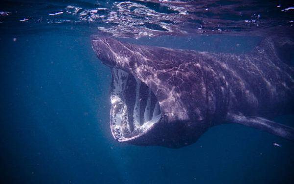 Los animales marinos mas grandes del mundo tiburon peregrino