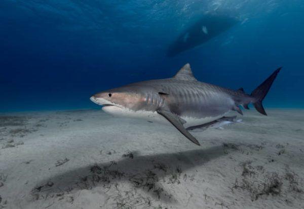 Los animales marinos mas grandes del mundo tiburon tigre