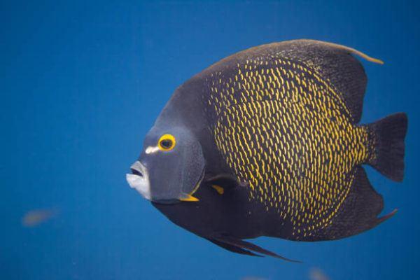 Los peces mas bonitos del mar  Pez angel frances