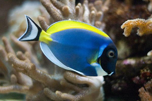 Los peces mas bonitos del mar  Pez cirujano de garganta blanca