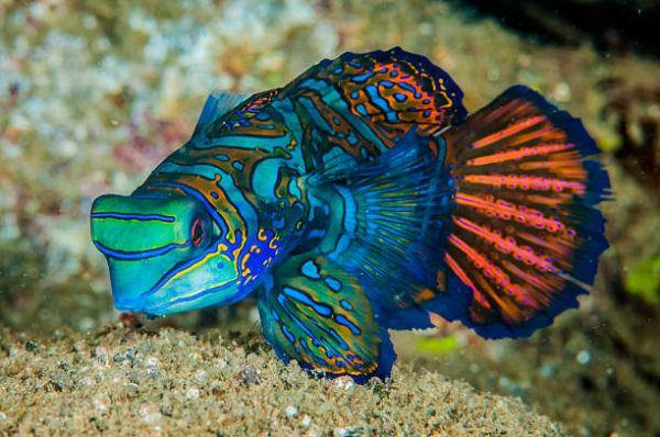 Los peces mas bonitos del mar  pez mandarin