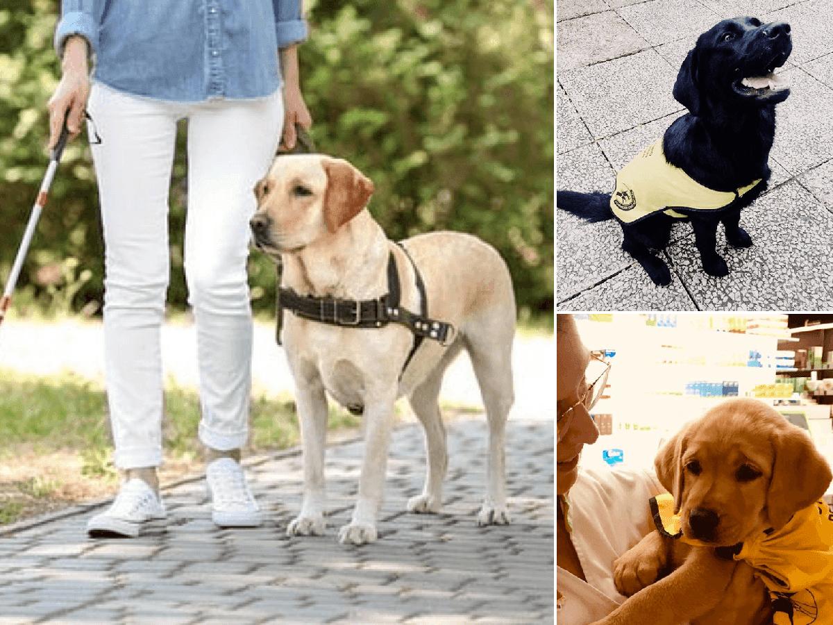 Perros Guía Razas Precios Y Entrenamiento Discapacidad Visual Animalesmascotas