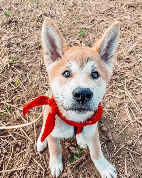 perros-akita-inu-akinchi-akita
