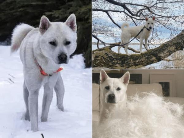 perros-kishu-ken
