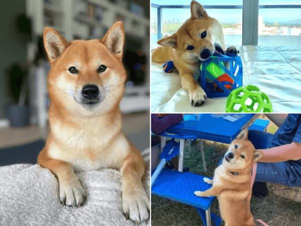 Perros Shiba Inu