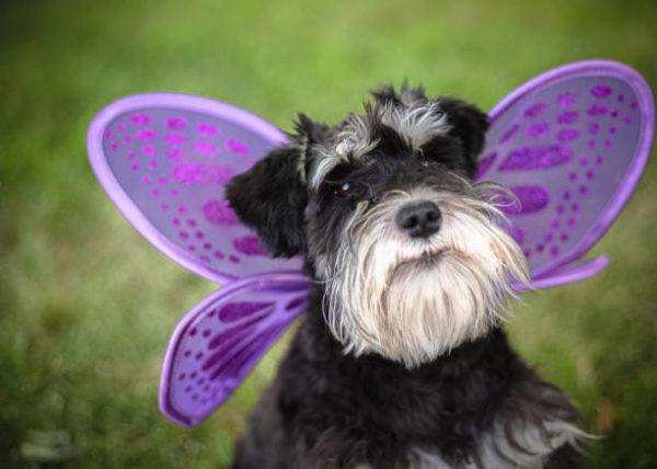 Disfraces caseros para mascotas carnaval disfraz mariposa