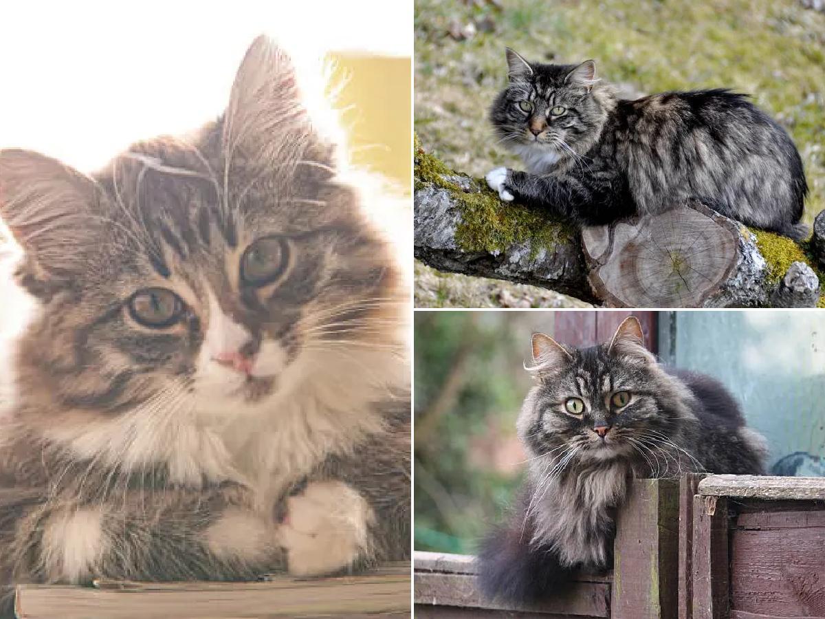 Razas De Gato Gatos Bosque De Noruega Animalesmascotas