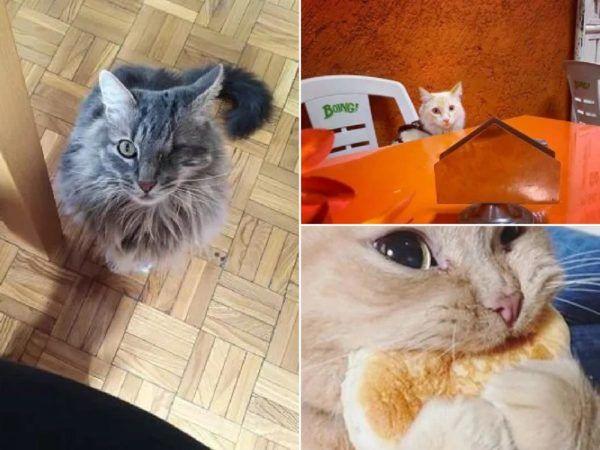 Recetas de comida casera para gatos