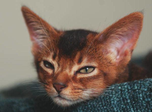 Gato abisinio caracteristicas cuidados consejos dormido