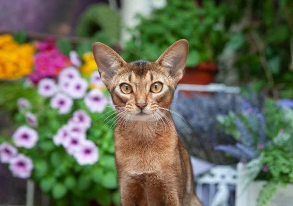 Gato abisinio caracteristicas cuidados consejos jardin