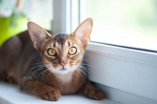 Gato abisinio caracteristicas cuidados consejos junto ventana