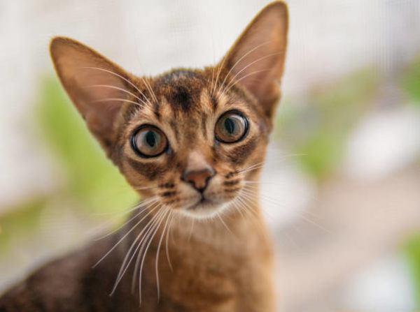 Gato abisinio caracteristicas cuidados consejos ojos