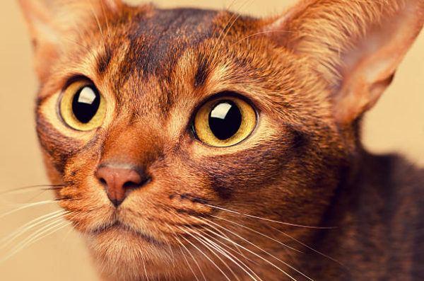 Gato abisinio caracteristicas cuidados consejos rostro