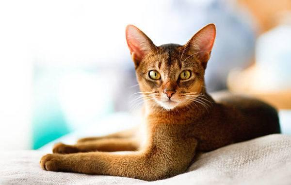 Gato abisinio caracteristicas cuidados consejos sentado de lado