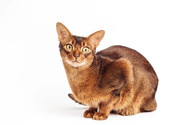 Gato abisinio caracteristicas cuidados consejos sentado