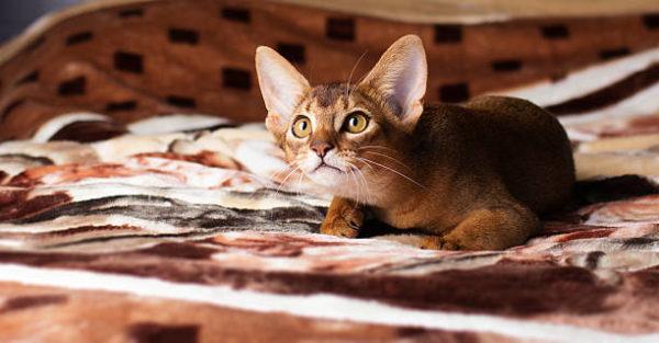 Gato abisinio caracteristicas cuidados consejos tumbado cama