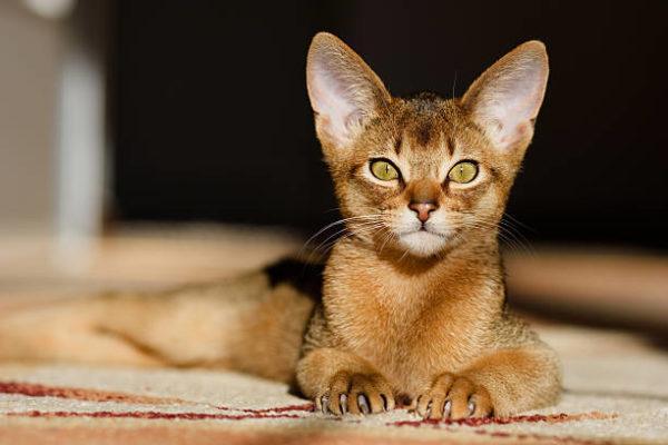 Gato abisinio caracteristicas cuidados consejos tumbado