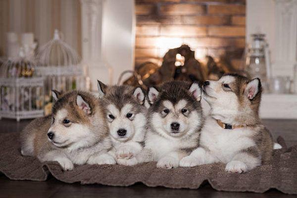 Malamute alaska caracteristicas cuidados consejos cachorros
